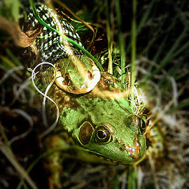 Frog Being Eaten by Snake by Nick Goetz - Animals Amphibians
