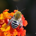 Antophorida Bee