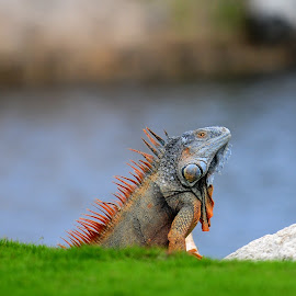 I see you. by Kevin Mummau - Animals Reptiles ( lizard, colorful, wildlife, king, island )