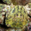 Marbled crab. Cangrejo corredor