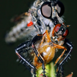 Preadtor and Prey by Kayhan Özçiçek - Animals Insects & Spiders ( macro, macro photography, hunting, night, robberfly )