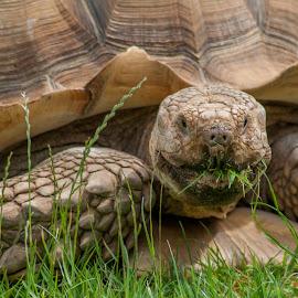 Sulcata tortoise by Ruth Holt - Animals Reptiles ( shell, tortoise, african, grass, sulcata, dinosaur adventure park, giant )