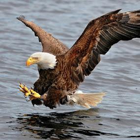Eagle by Geoff Gosse - Animals Birds ( eagle, atlantic ocean, newfoundland, fishing, birds, bird, fly, flight,  )