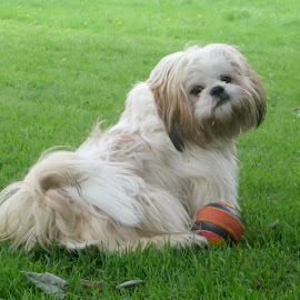 Will someone play with me?? by Celia Sillars - Animals - Dogs Puppies ( pup, shih tzu, dog )