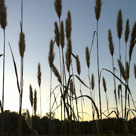 Cattails by Kristye Horn - Nature Up Close Leaves & Grasses