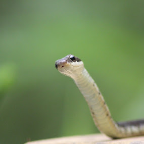 Snake by Hanif Tadvi - Animals Other (  )