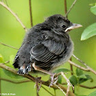 Gray catbird, fledgling
