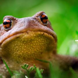 Frogy by MIhail Syarov - Animals Amphibians ( brown eyes, frog, green, amphibian, wildlife, brown )