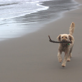 Beach pup by Virginia Nicol - Animals - Dogs Running ( labradoodle, beach, dog, running, animal )