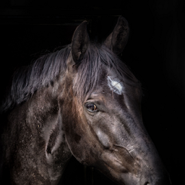 Alpha 1 by Erik Kunddahl - Animals Horses ( mare, equine, riding, equstrian, horse )