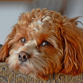 Cavapoo pooped by Steven Liffmann - Animals - Dogs Portraits ( relax, cavadoodle, puppy, cavapoo, dog, cute dog,  )