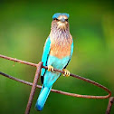 Indian Roller or Blue Jay