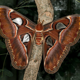 Atlas Moth by David Northcott - Animals Insects & Spiders ( atlasmoth, lepidoptera, insect, moth, large )