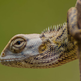 Oriental Garden Lizard by Anuj Malik - Animals Amphibians ( lizard, wildlife, oriental garden lizard, animal )