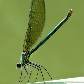 green dragonfly by Dubravka Penzić - Animals Insects & Spiders (  )