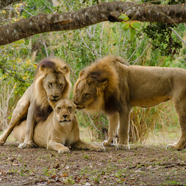 Love Triangle by Jose Gort - Animals Lions, Tigers & Big Cats ( animals, wildlife, lions, mating,  )