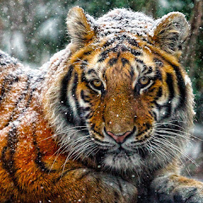 Let it Snow, Let it Snow, Let it Snow by John Larson - Animals Lions, Tigers & Big Cats
