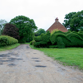A roaring hedge by Ruth Holt - Novices Only Flowers & Plants ( hedge, privet, east rudham, norfolk, dragon, topiary, shaped )