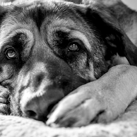Daydreaming by Paul Phull - Animals - Dogs Portraits ( black and white, pets, paws, portrait, bullmastiff cross, eyes )