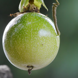 Passion fruit  by Sara Kjosaas - Nature Up Close Gardens & Produce