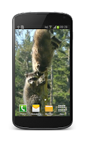 Screenshot of Raccoon Free Video Wallpaper