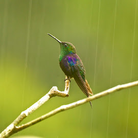 Colibri by Sergio Frada - Animals Birds ( parque soberania )