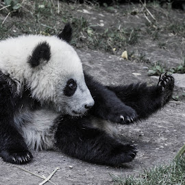 Panda by Adrien Sutter - Animals Other ( panda, black and white, asia )