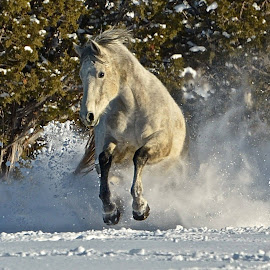 Show off  by Meredith Mazutis - Animals Horses ( horses, horse, colorado, running horse, saddlebred )