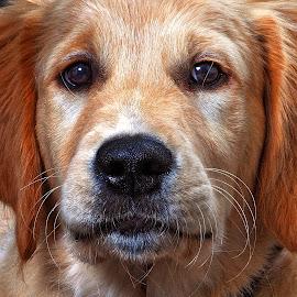 Faithful  by John Phielix - Animals - Dogs Portraits ( pet, dog, mammal, eyes, animal,  )