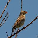 Red-billed Quelea (female)