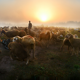 shepherd by Samir Ray - Landscapes Travel ( sheep, sunrise, travel, landscape, photography )