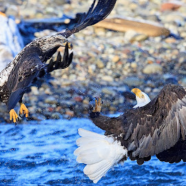 The Duel by Kaushik Barat - Animals Birds ( mosquito lake, washington, skagit, eagles, bald eagles,  )