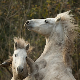 by Dragomir Taborin - Animals Horses