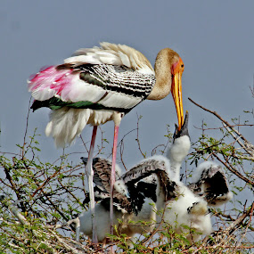 Painted Stork  feeding it's baby..!! by Mukesh Chand Garg - Animals Birds ( wildlife photography, bird photos, bird and wildlife, photography, the focus unlimited, mukesh garg photography, nature, bird images, focus unlimited, nature photography, focus, mukesh garg's photography, wildlife photos, bird photography, unlimited focus )