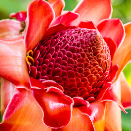 Red Torch Ginger by Kelly Headrick - Flowers Single Flower ( torch, red, ginger, tropical, hawaii, flower, tropical flowers )