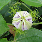 Passion Flower (unbloomed)