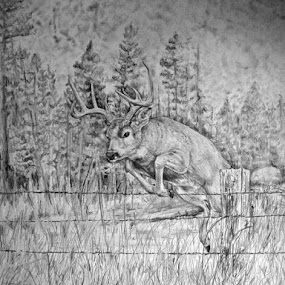 Whitetail in pencil I did for my Dad for Father's day one year. by Cindy Swinehart - Drawing All Drawing