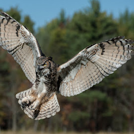 Majestic Owl by Rose Knott - Novices Only Wildlife (  )