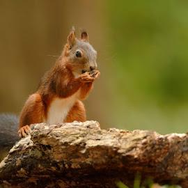 hazelnut eater by Cédric Guere - Animals Other ( goblin, wild, red, nature, joy, wildlife, woods, squirrel, animal )