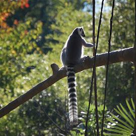 Lemur by Angel Harvey - Animals Other ( animals, zoo, nature, lemur, primate )