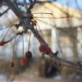 berries by Vladimir Firsov - Buildings & Architecture Architectural Detail ( home, winter, nature, trees, finland, berries,  )