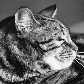 Sebastian (Mr. Buster) by Cory Bohnenkamp - Animals - Cats Portraits ( cat, black and white, striped, portrait, sebastian )