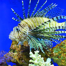 Lion Fish by Elizabeth Kraker - Animals Fish ( water, nature, florida, fish, wildlife,  )