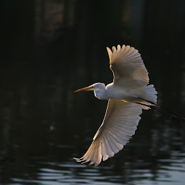 by Adanan Sidjoh - Animals Birds ( bird, fly, flight )