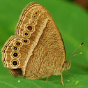 Bush brown butterfly