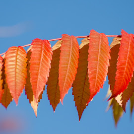 Get in line by Cory Bohnenkamp - Nature Up Close Leaves & Grasses ( red, blue, branch, get in line, leaves )