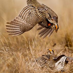 Rumble on the Tall Grass Prairie by Mark Nicholson - Animals Birds ( mating season, battle, mark nicholson, prairie chickens, fighting, lek, spring, tall grass prairie,  )