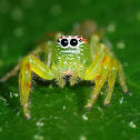 Northern Green Jumping Spider ( Female )