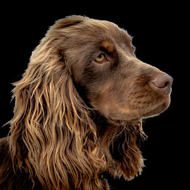 CoCo  by Brian Noel - Animals - Dogs Portraits