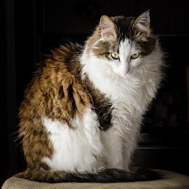 Serious buisness by Richard Tilton - Animals - Cats Portraits ( cat, utah, stare, portrait, regal )